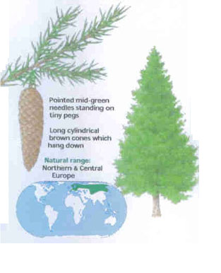 Norway Spruce